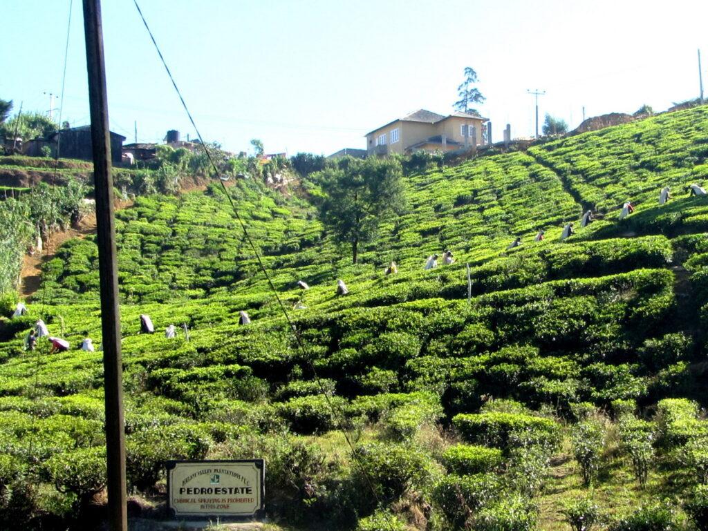 plantacje herbaty na Cejlonie